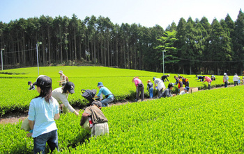 冷茶体験2010