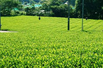 大淵の新茶の季節
